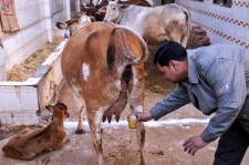 Cow Urine: India's Bizarre Quest For Wellness