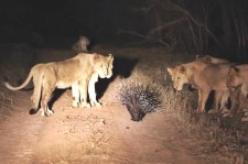 Who's The King Of The Jungle Now? Porcupine Fends Off 17 Lions In South Africa