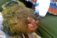 Tiny Orphaned Marmoset Just Loves Her Toothbrush Massage