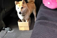Cute! Owner Pranks His Dog With Subsequently Smaller Boxes To Sit In