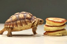 Tiny Turtles Eating Tiny Pancakes Is The Cutest