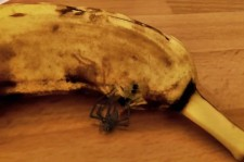 Spider Emerging From Banana Is Your Worst Nightmare
