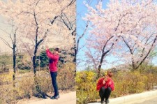 jokwon picture with cherry blossom trees